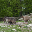 Pack of wolves at feed - Stockfoto
