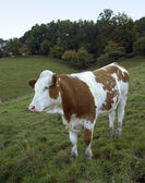 Brown and white skewbald cow out at feed — Stock Photo