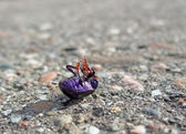 Dead bug supine on pavement — Stock Photo