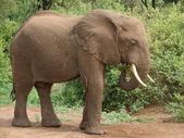 アフリカ象横 — ストック写真