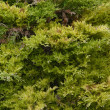 Thuja back — Stock Photo