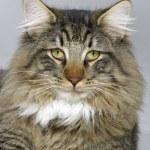 Norwegian Forest Cat portrait — Stock Photo #7592883