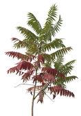 Little staghorn sumac tree — Stock Photo