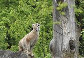 Eurasian Lynx ready to jump — Stock Photo