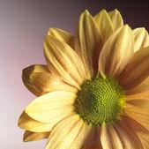 Orange blossom detail — Stock Photo
