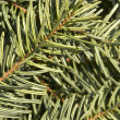 Stock Photo: Fir needle background