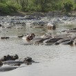 Hippos in the water — Stock Photo