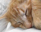 Sleeping cat portrait — Stock Photo
