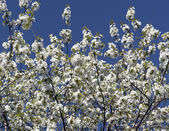 Lots of twigs full with white blossoms — Stock Photo