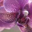 Violet orchid closeup — Stock Photo