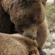 Stock Photo: Brown Bear detail