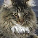 Norwegian Forest Cat portrait — Stock Photo #7623934