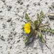 Dandelion plant in arid ambiance — Stock Photo #7624087