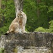 Eurasian Lynx on rock formation — Stock Photo