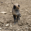 Wild boar on earthy ground — Stock Photo