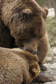 Brown Bear detail — Stock Photo
