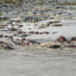 Stock Photo: Lots ofswimming Hippos