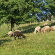 Grazing sheep in sunny ambiance — Stock Photo #7641186