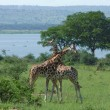 Male Giraffes at fight in Africa — Stock Photo