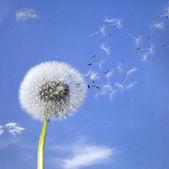 Paardebloem blowball en vliegende zaden — Stockfoto