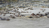Lots ofswimming Hippos — Stock Photo