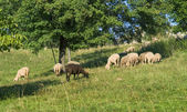 Grazing sheep in sunny ambiance — Stock Photo