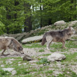 Royalty-Free Stock Photo: Gray Wolves near forest