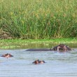Some Hippos waterside in Uganda — стоковое фото #7655874
