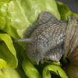Stock Photo: Grapevine snail at feed
