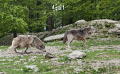 Gray Wolves near forest — Stock Photo