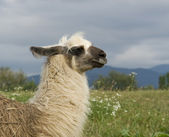 Lama in cloudy ambiance — Stock Photo