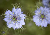 Nigella damascena flowers — Stock Photo