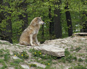 Gray Wolf sitting on small hill — Stock Photo