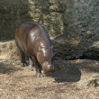 Stock Photo: Pygmy Hippopotamus