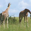 Two Giraffes in sunny ambiance — Stock Photo