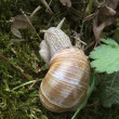 Grapevine snail — Stock Photo