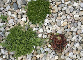 Shrub and pastel pebbles — Stock Photo