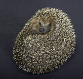 Rolled-up hedgehog in dark back — Stock Photo
