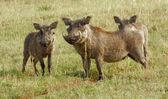 Warthogs in Uganda — Stock Photo