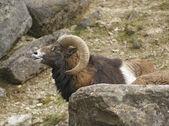 Mouflon portrait in stony back — Stock Photo