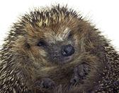 Rolled-up hedgehog portrait — Stock Photo