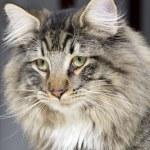 Norwegian Forest Cat portrait — Stock Photo #7682761