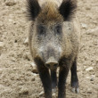 Wild boar portrait - Stockfoto