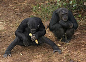 Chimpanzees on the ground — Stock Photo