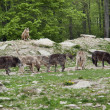 Stock Photo: Pack of Gray Wolves