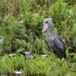 Royalty-Free Stock Photo: Shoebill in Uganda