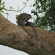 Vervet monkeys sitting on big bough — Stock Photo #7702025