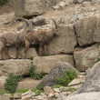Two Alpine Ibex in stony ambiance — Stock Photo #7702075