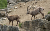 Fighting Alpine Ibex — Foto de Stock