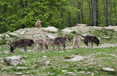 Pack of Gray Wolves — Stock Photo